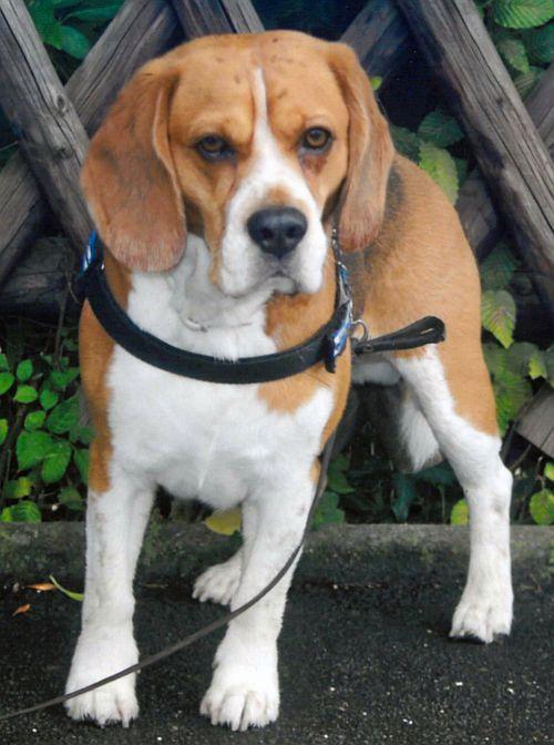 "Foto:  Beagle ""Rufus"" (6)"