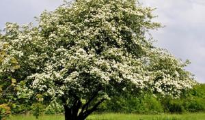 Soest und seine Bäume