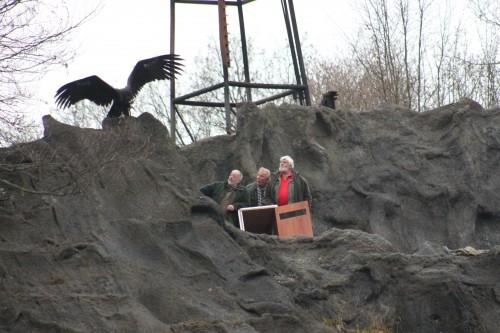 Der neue Hauptdarsteller bei den Karl-May-Festspielen in Elspe ist 2014 der Mönchsgeier Jack. Er war schon zu Besuch auf der Naturbühne, um sich seinen 2014er Arbeitsplatz näher an zu schauen. Foto: Elspe Festival