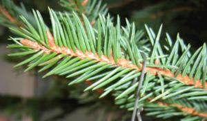 Weihnachtsbäume werden abgeholt