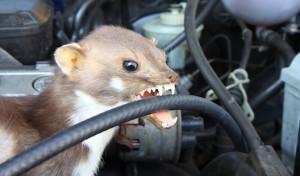 Marder beißen wieder zu – TÜV NORD gibt Tipps zur Abwehr