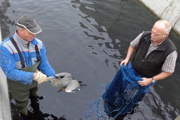 Rettungsaktion für jungen Fischreiher: Die HSW-Mitarbeiter Hubertus Eickelmann (links) und Alfons Hermes befreiten den Jungvogel aus dem Absetzbecken des Wasserwerks Mengesohl (Foto: Hochsauerlandwasser GmbH).