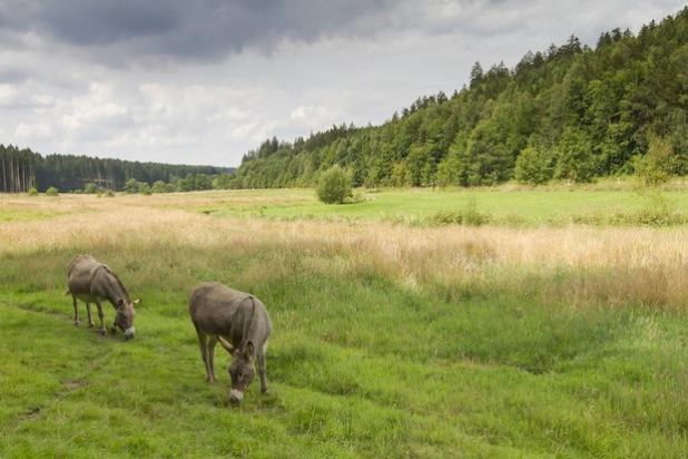 Einige Graslandschaften im Möhnetal werden von Eseln oder kleinen, robusten Rindern gestaltet. Diese und andere interessante Informationen bietet ein Vortragsabend am Mittwoch, 29. Oktober 2014, 19 bis 20 Uhr, im Haus Buuck in Rüthen, Hachtorstraße 32 (Foto: Bernd Margenburg).