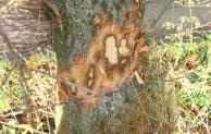 Vier Bäume in Elleringhausen mutwillig mit Axt beschädigt