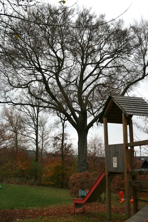 """""""Leider gibt es keinerlei Gegenmittel, um den Pilz zu bekämpfen und diesen herrlichen Baum davor zu bewahren, gefällt zu werden"""", bedauert Umweltberater Matthias Jung (Foto: Gemeinde Neunkirchen)."""