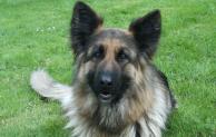 Hunde gegen Staupe impfen lassen