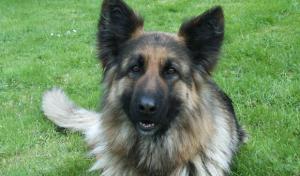 Anmeldung eines großen Hundes kostet künftig