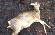 Förster in Sorge: Unangeleinte Hunde bringen Wild in große Gefahr