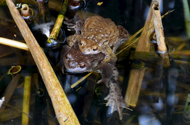 Photo of Amphibienschutzaktion 2015: Kröten, Frösche und Lurche wandern wieder