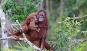 Ölpalmenplantagen auf Borneo bedrohen Lebenswelt der Menschenaffen