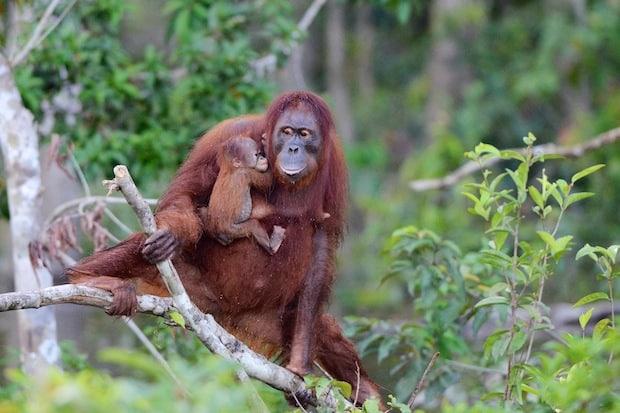 Photo of Ölpalmenplantagen auf Borneo bedrohen Lebenswelt der Menschenaffen