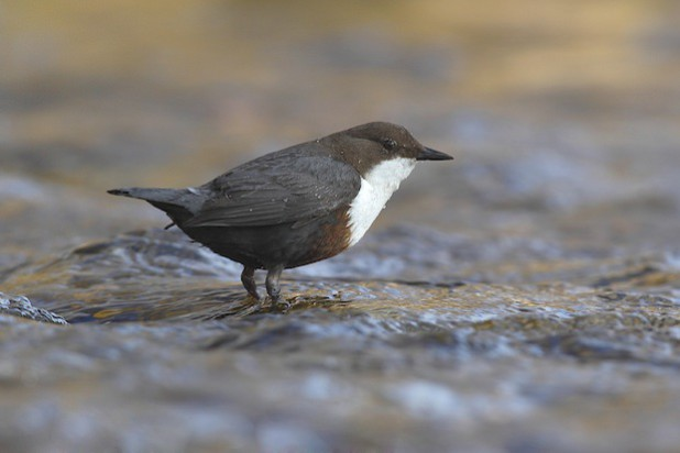 Die Wasseramsel ist eine der vielen Vogelarten, die sich in der Helleraue heimisch fühlt (Foto: Friedhelm Adam)