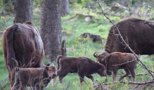 Frei lebende Wisent-Herde hat erneut Nachwuchs