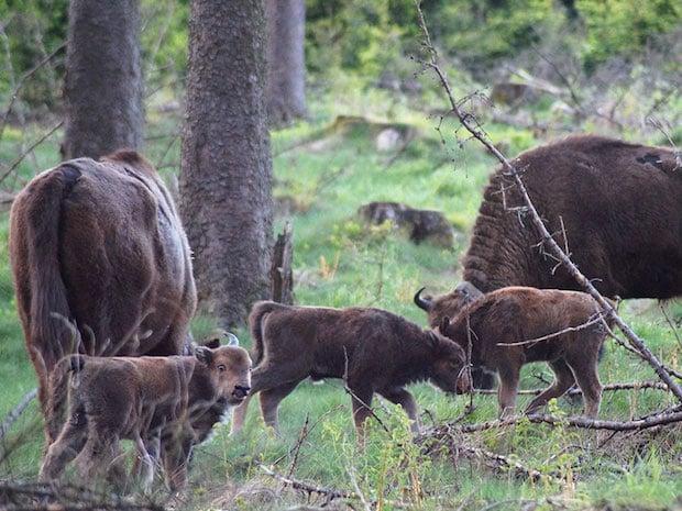 Photo of Frei lebende Wisent-Herde hat erneut Nachwuchs