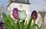 Aktionsgemeinschaft Drolshagen mit Tulpenaktion