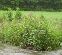 <b>Bekämpfung gebietsfremder Pflanzen in Hilchenbach</b>