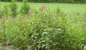 Bekämpfung gebietsfremder Pflanzen in Hilchenbach