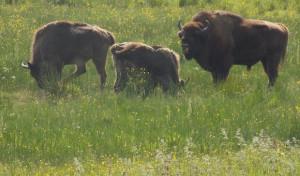 Burbach: Mundartgruppe besuchte Wisent-Wildnis