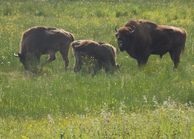 Photo of Burbach: Mundartgruppe besuchte Wisent-Wildnis
