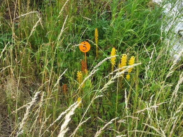 Als Magerpflanze findet die Große Sommerwurz im Roberts Bruch ideale Wachstumsbedingungen (Foto: Volker Stelzig).
