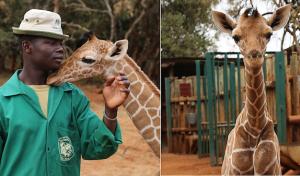 Fallschirmsportler adoptieren verwaistes Giraffen-Baby in Kenia