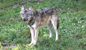 """Kreisverbandstag der Landwirte: """"Der Wolf ist (wieder) da – Fakten statt Mythen"""""""