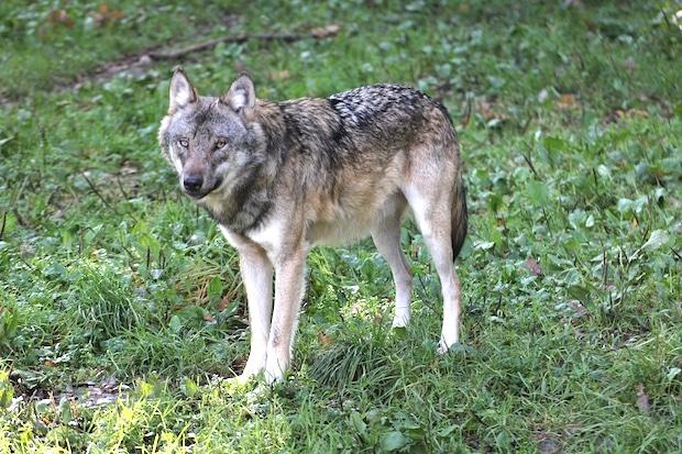 """Photo of Kreisverbandstag der Landwirte: """"Der Wolf ist (wieder) da – Fakten statt Mythen"""""""