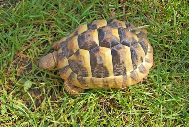 Die griechische Landschildkröte ist eine geschützte Art (Foto: pmk).