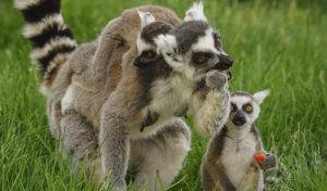 Die Kattas im Galileo-Park Lennestadt haben ein neues Zuhause