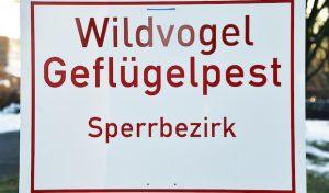 In Bad Sassendorf entdeckter toter Schwan mit Virus H5N8 infiziert
