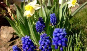 Herbstzeit ist Pflanzzeit für Blumenzwiebeln wie Tulpen und Narzissen