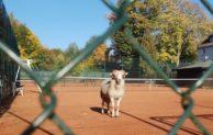 Entlaufener Schafsbock in Herscheid