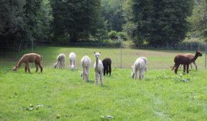 Mit Alpakas bei einer Wanderung auf Tuchfühlung gehen