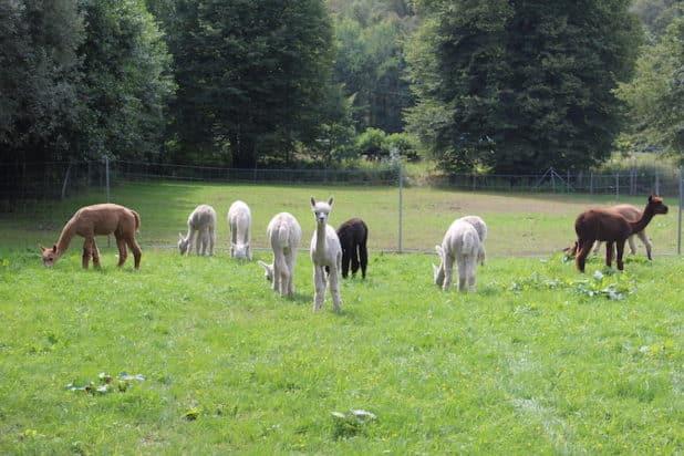 Eine Wanderung mit einem Alpaka lässt Kinderherzen höher schlagen