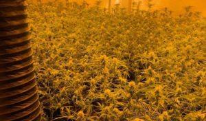 Cannabis-Plantage geräumt