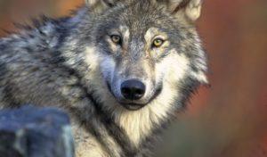 Mythos Wolf