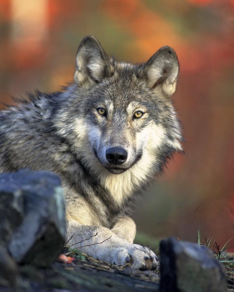 Photo of Mythos Wolf
