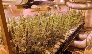 Marihuana-Plantage ausgehoben