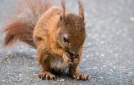Kreuzendes Eichhörnchen