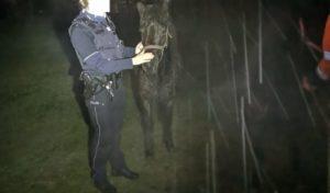 Polizei fängt entlaufene Ponys