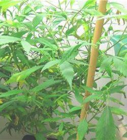 2020-02-20-Cannabis