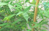 Cannabis gezüchtet