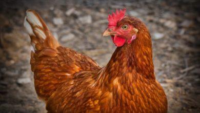 Photo of 20 Hühner in Schönau entwendet – Hinweise erwünscht