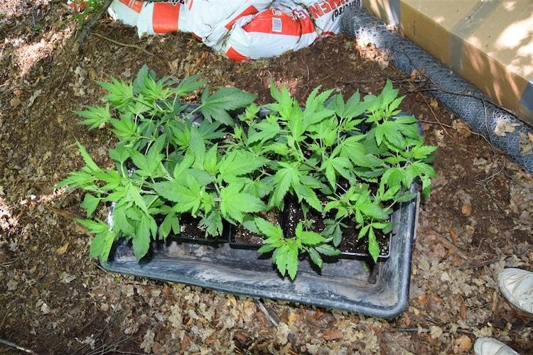 Photo of Cannabisplantage auf Lichtung entdeckt – Zeugen gesucht