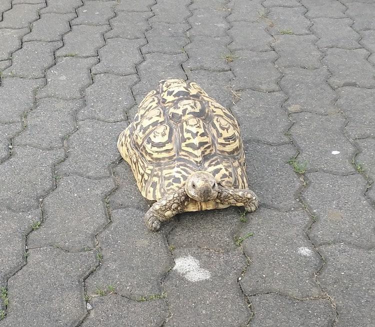 Photo of Polizeieinsatz: Schildkröte auf Abwegen