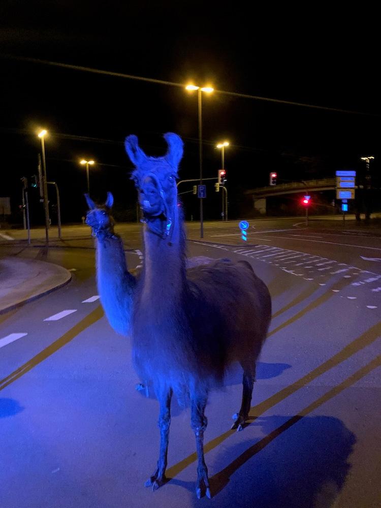 Photo of Ausgebüxte Lamas auf der Seilerseestraße eingefangen